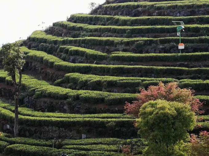 茶园梯田图片
