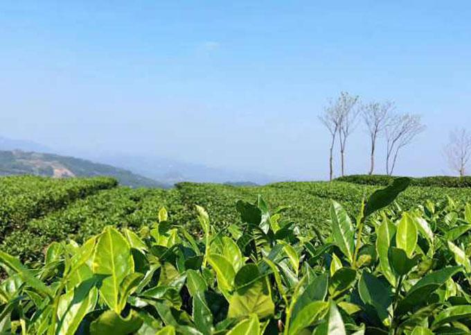 茶园茶芽实拍图
