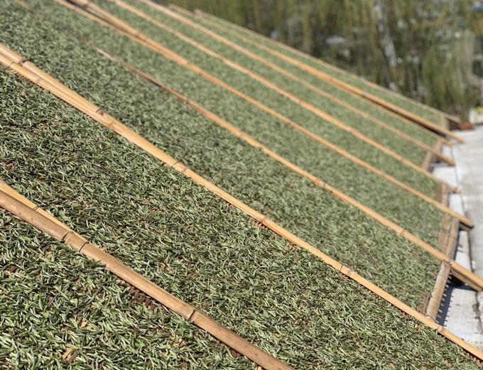 白茶生产图片